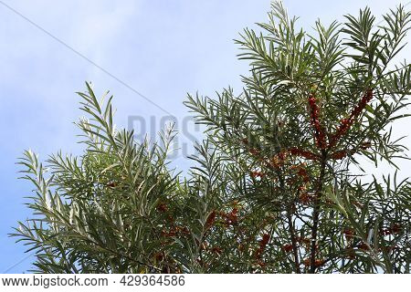 Green Tree With Sea buckthorn Berries On Blue Sky Background With Copy Space. Close-up Of Ripe Ora