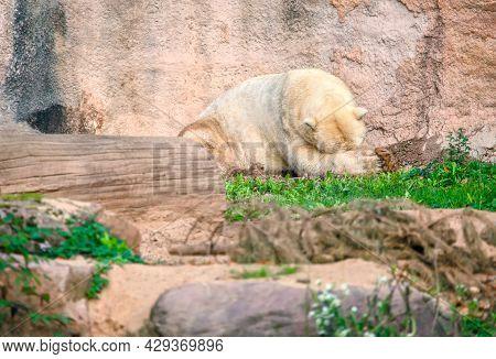Sleeping Polar Bear In The Zoo . Ursus Maritimus