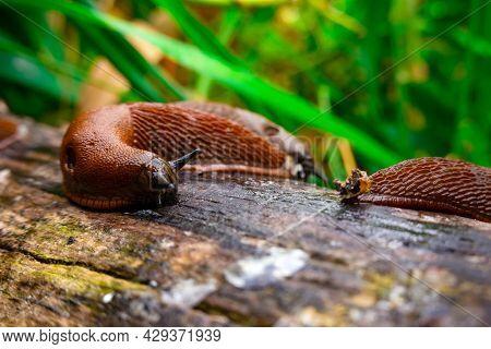 Close Up View Of Common Brown Spanish Slug On Wooden Log Outside. Big Slimy Brown Snail Slugs Crawli