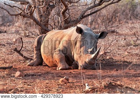 White Rhinoceros Resting In Kruger Park, South Africa. The White Rhinoceros Is The Largest Extant Sp
