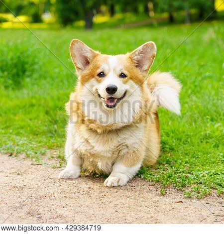 Portrait Of Beautiful And Active Purebred Welsh Corgi Sits On Green Grass Against Background Of City