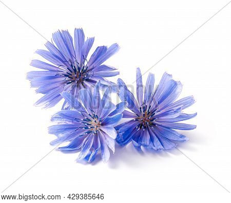 Chicory Flowers On White Background. Macro. Chicory Isolated. Flowers Of Chicory For Package Design.