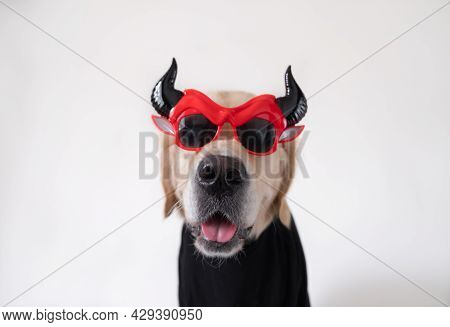 Dog In A Funny Halloween Costume. Golden Retriever In A Devil Costume For A Holiday Sits On A White