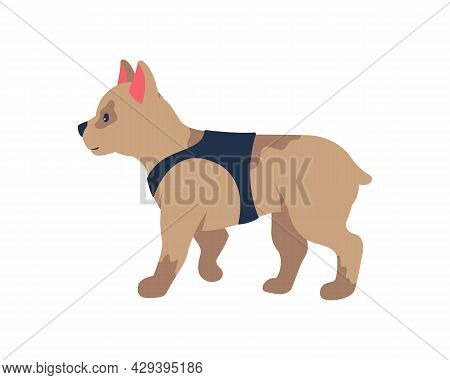 Adopting French Bulldog Puppy Semi Flat Color Vector Character. Full Body Animal On White. Small Dog