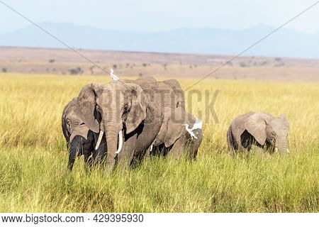 A family group of African elephants, loxodonta africana, grazing in the lush grasslands of Amboseli National Park, Kenya.