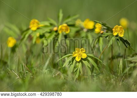 Yellow Wood Anemone, Anemonoides Ranunculoides Blooming On A Sunny Spring Day In Estonian Nature