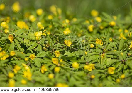 Beautiful Spring Flower, Yellow Wood Anemone, Anemonoides Ranunculoides Blooming On A Sunny Spring D