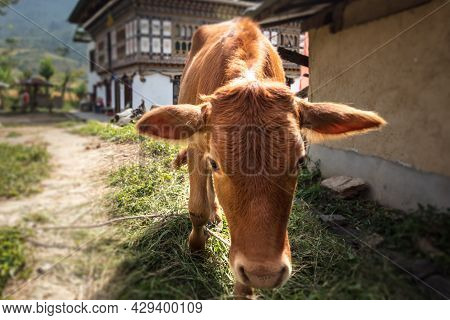 Cow Walks Thru A Small Village In Bhutan Near The Longest Suspension Bridge In Himalaya At Town Of P