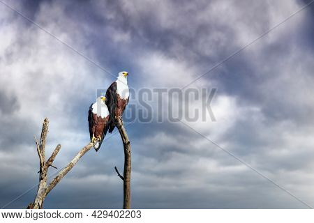 African Fish Eagles, breeding pair, perched on a dead tree against stormy sky, Lake Naivasha, Kenya. A freshwater bird found throughout sub-Saharan Africa.