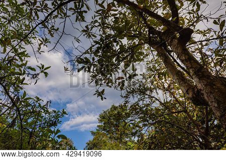 Looking Up Cloudscape. Bottom Up View Of Lush Green Foliage Of Trees With Afternoon Sky And Sun. 4k