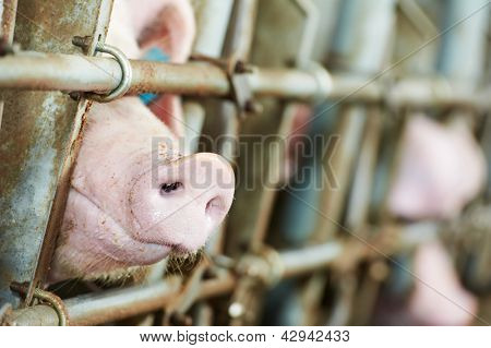 One young piglet in shed at pig-breeding farm