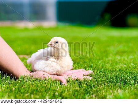 A Small Broiler Chicken Is Sitting On Womens Palm. Sunny Lawn Against The Background Of A Greenhouse
