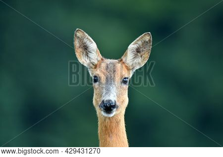 Close Up Of A Wild Female Roe Deer