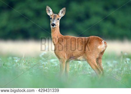Wild Female Roe Deer Standing In Grass