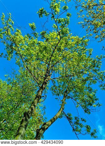 Blue Sky And Green Tree Branches In Summer Time. Trees Pulling Their Green Arms To The Sun Light. Lo
