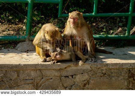 Rhesus Macaque (macaca Mulatta) Monkeys Lousing Each Other While Sitting On Stone In Swayambhunath M