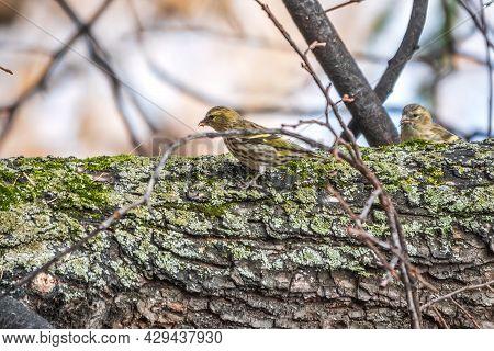Eurasian Siskin Female, Latin Name Spinus Spinus, Sitting On Branch Of Tree. Cute Little Yellow Song
