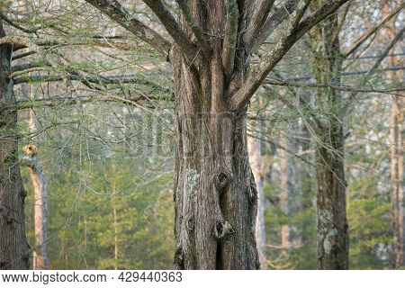 A Old Growth Cedar Tree In The Foreground With The Branches On Top A Partial View Closeup With The O