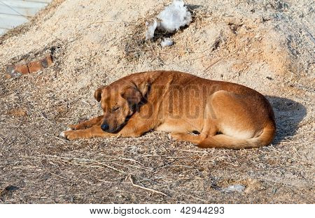 The big brown stray dog sleeping on the ground poster