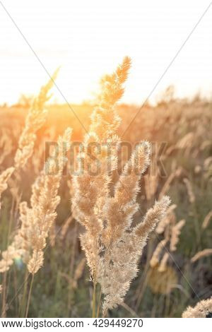 Calamagrostis Epigejos, A Woody Small-leaved Or Shrubby Grass. A Field Of Golden Spikelets At Sunset