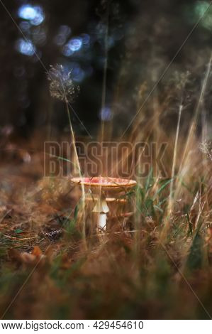 Defocus Toxic And Hallucinogen Mushroom Fly Agaric In Blurred Dry Grass On Autumn Forest Background.