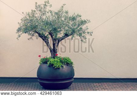 Bonsai Of A Olive Tree In Pot. Decorative Olive Tree In A Planter Pot.