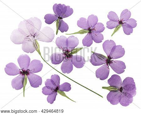 Pressed And Dried Flower Silene (viscaria), Isolated On White Background. For Use In Scrapbooking, P