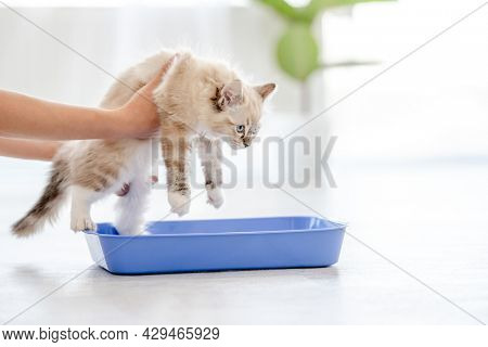 Owner holding lovely fluffy white ragdoll cat sitting in blue tray and teaching it goes to toilet place. Beautiful purebred feline pet outdoors