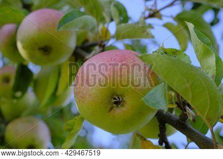 Apple Harvest. Apples On A Branch In The Autumn Garden.autumn Apple Orchard.