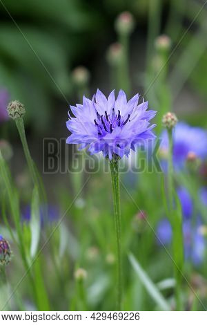 Cornflower Blooming In A Meadow, Blue Cornflower Close - Up
