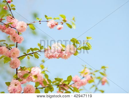 a branch with beautiful pink flowers against the blue sky. Amygdalus triloba. very shallow depth of field, focus on the central branch.