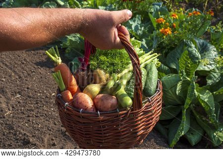 Old Man Are Holding A Basket Of Vegetables Against The Background Of Their Own Garden. The Autumn Ha