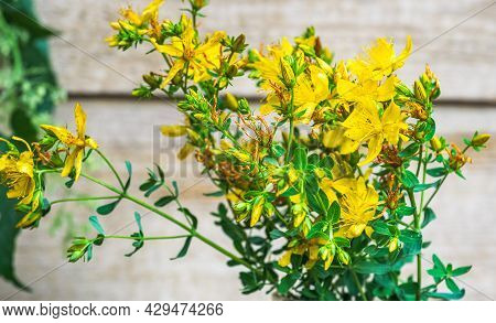 A Medicinal Plant Used In Traditional Medicine. Blooming St. John's Wort Close Up.