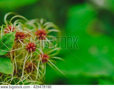 Delicate Seeds Of Clematis Vitalba, Traveller's Joy In Autumn On Green Background. An Interesting Ba