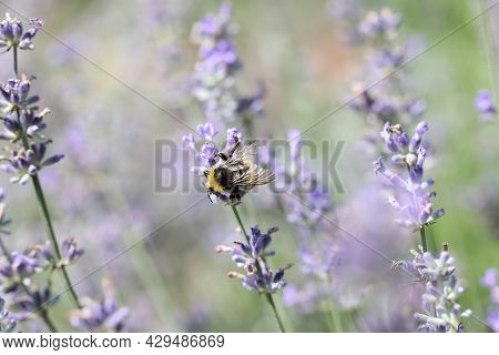 Bee Pollinates Lavender Flowers In Field Closeup