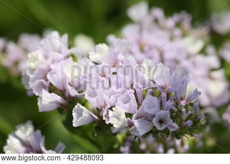 Statice Flowers Or Sea Lavender On Field Closeup