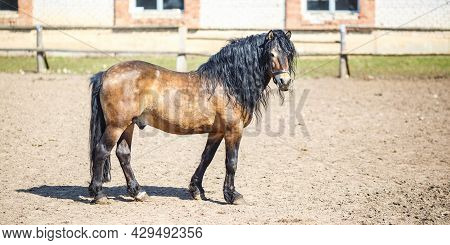 Brown Horse With A Black Mane Walks Behind The Fence