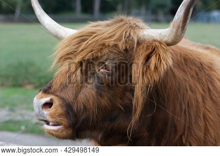 Portrait Of A Scottish Highland Cattle In A Park In Cologne