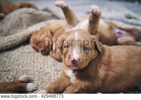 Group Of Cute Puppies On Blanket. Breeding Of Nova Scotia Duck Tolling Retriever Dog.