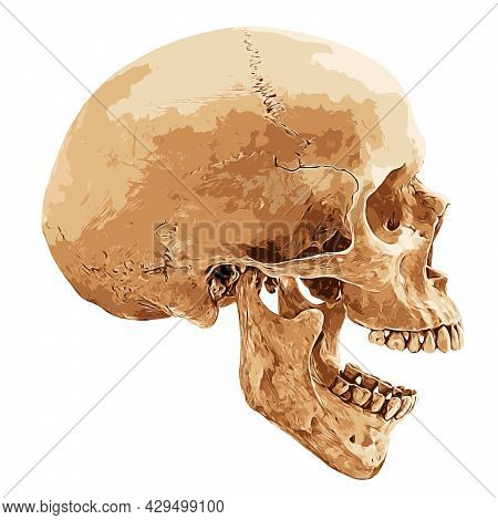 Human Skull In Lateral Aspect Isolated On White Background, Vector Illustration
