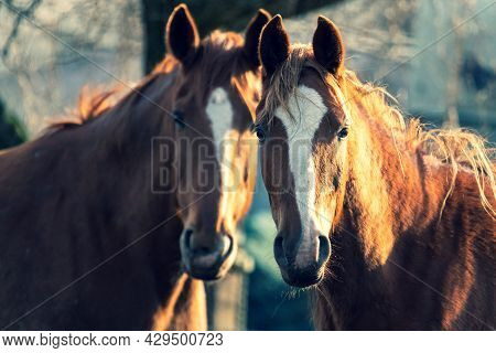 A Closeup Portrait Of Two Brown Horses Standing Next To Eachother Looking Straight Into The Camera.