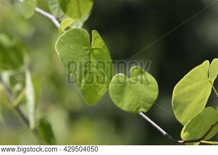 Texas White Redbud Leaves - Latin Name - Cercis Canadensis Var. Texensis Texas White