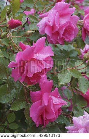 Close-up Image Of Hybrid Rose Flowers (rosa)