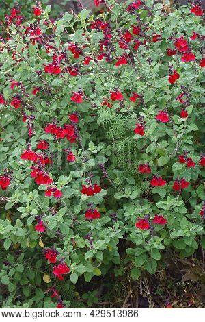 Autumn Sage (salvia Greggii). Called Red Chihuahuan Sage And Texas Sage Also.