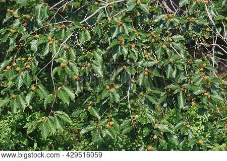 American Beech (fagus Grandifolia). Known As North American Beech Also.