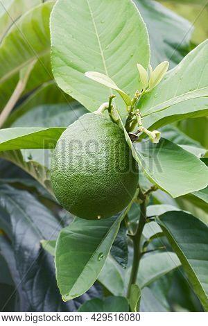 The American Wonder Lemon (citrus X Pyriformis). Called Skieriewice Lemon Also. Another Botanical Na