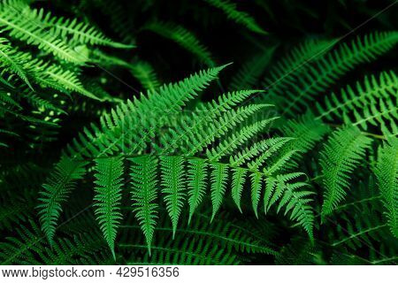 Beautyful Ferns Leaves Background In Sunlight. Green Foliage Natural Floral Pattern. Selective Focus