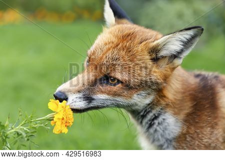 Close Up Of A Red Fox (vulpes Vulpes) Sniffing A Marigold Flower In Summer, United Kingdom.
