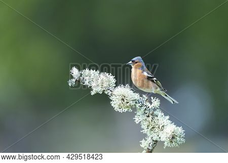 Close Up Of A Common Chaffinch (fringilla Coelebs) Perched On A Tree Branch, England.