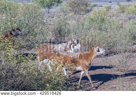 Damara Ram With Four Horns And An Ewe On A Farm Near Beaufort West In The Western Cape Karoo